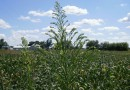 Research could lead to herbicide resistance solution